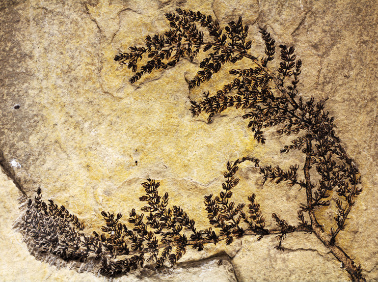 Montsechia fossil