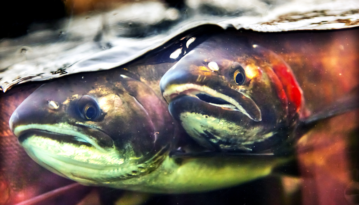 Can salmon survive changes at the Equator?