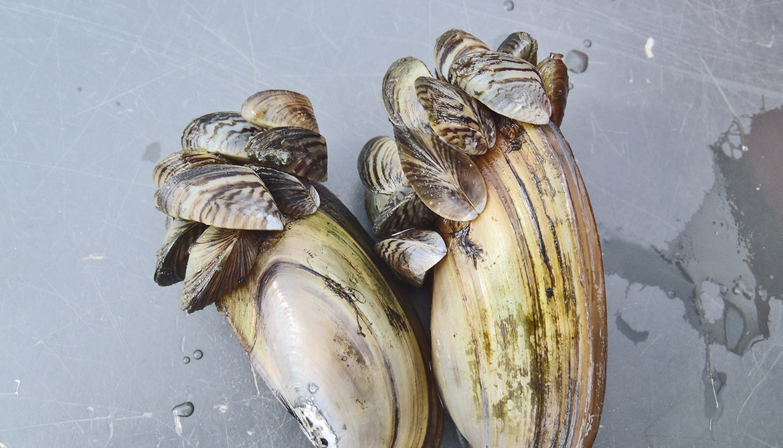 Molecule gets its glue from mussel feet