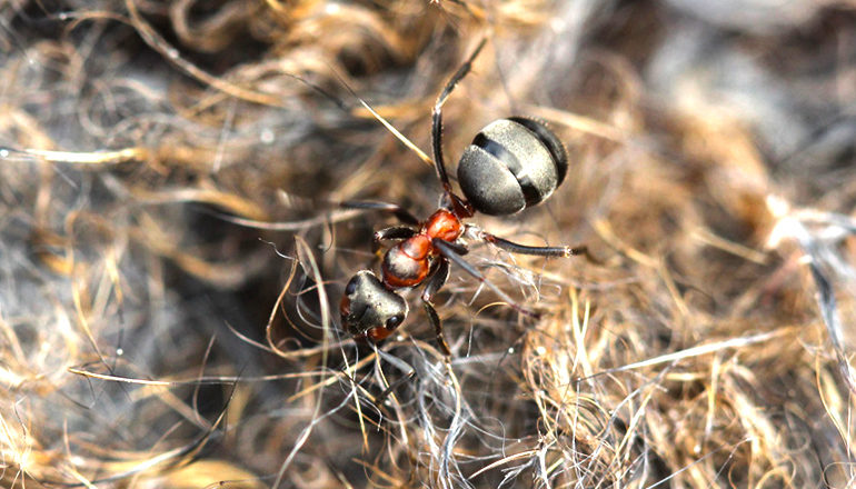 Northern hairy wood ant