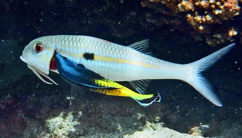 mutualism in fish
