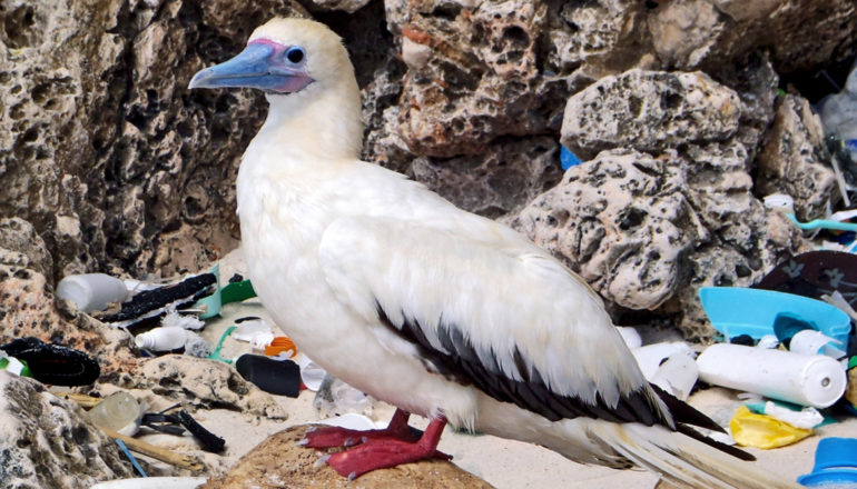 red-footed booby and plastic