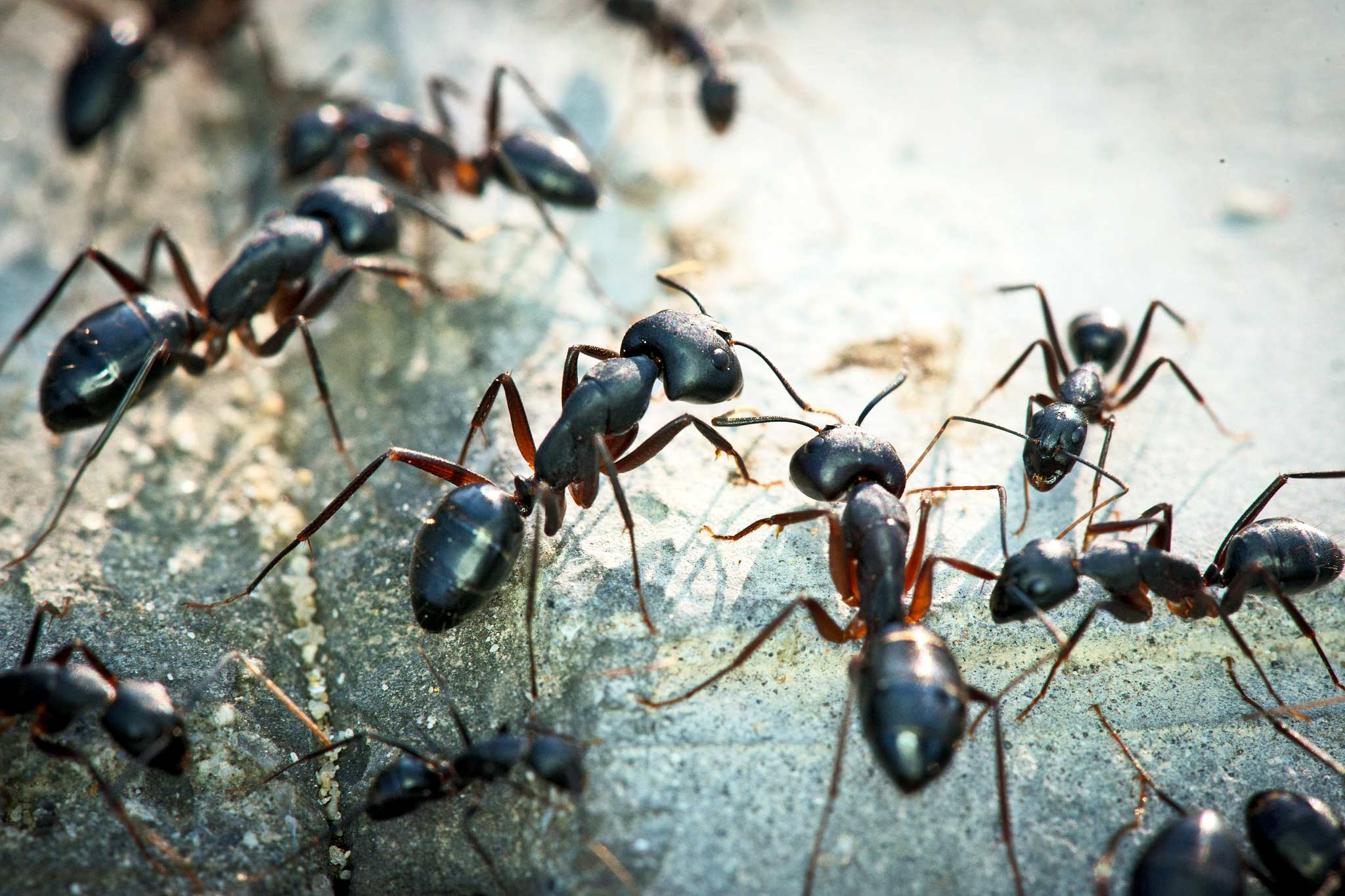 Some ants are lucky: Their job is being lazy