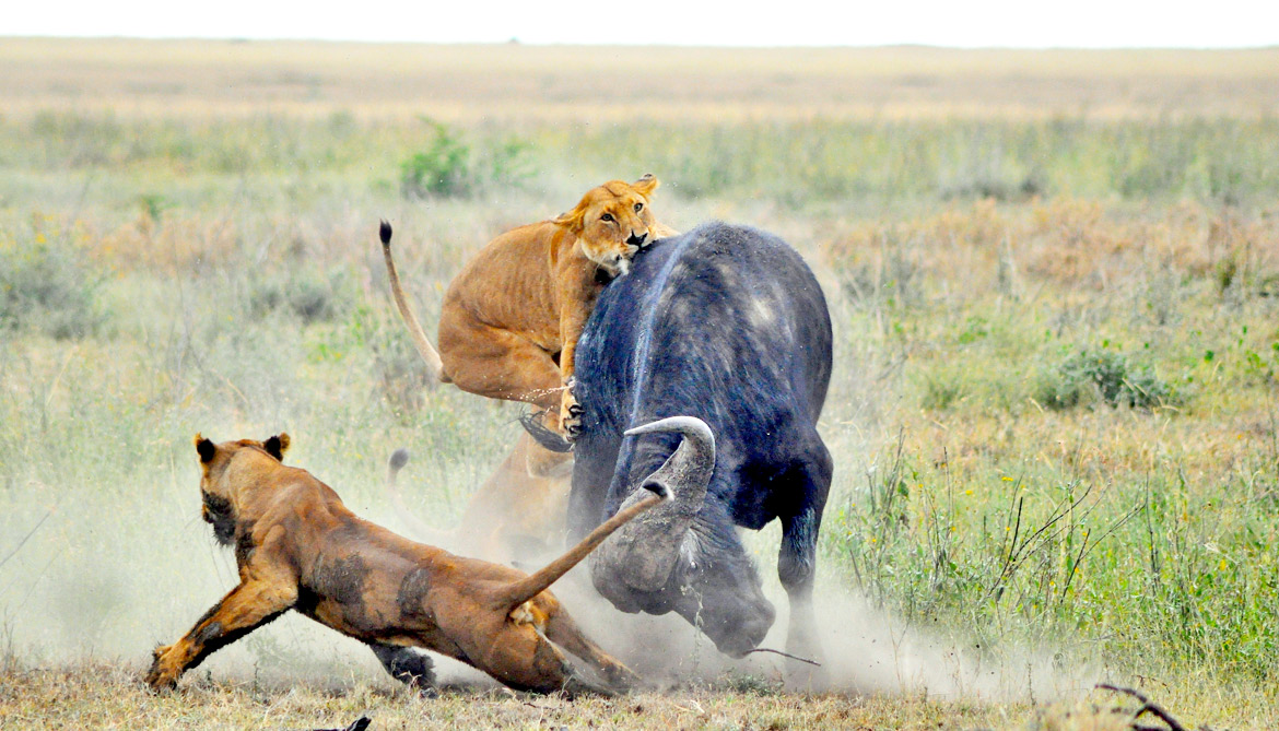 Surprise pattern keeps lion numbers in check