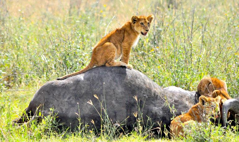 lions on dead buffalo