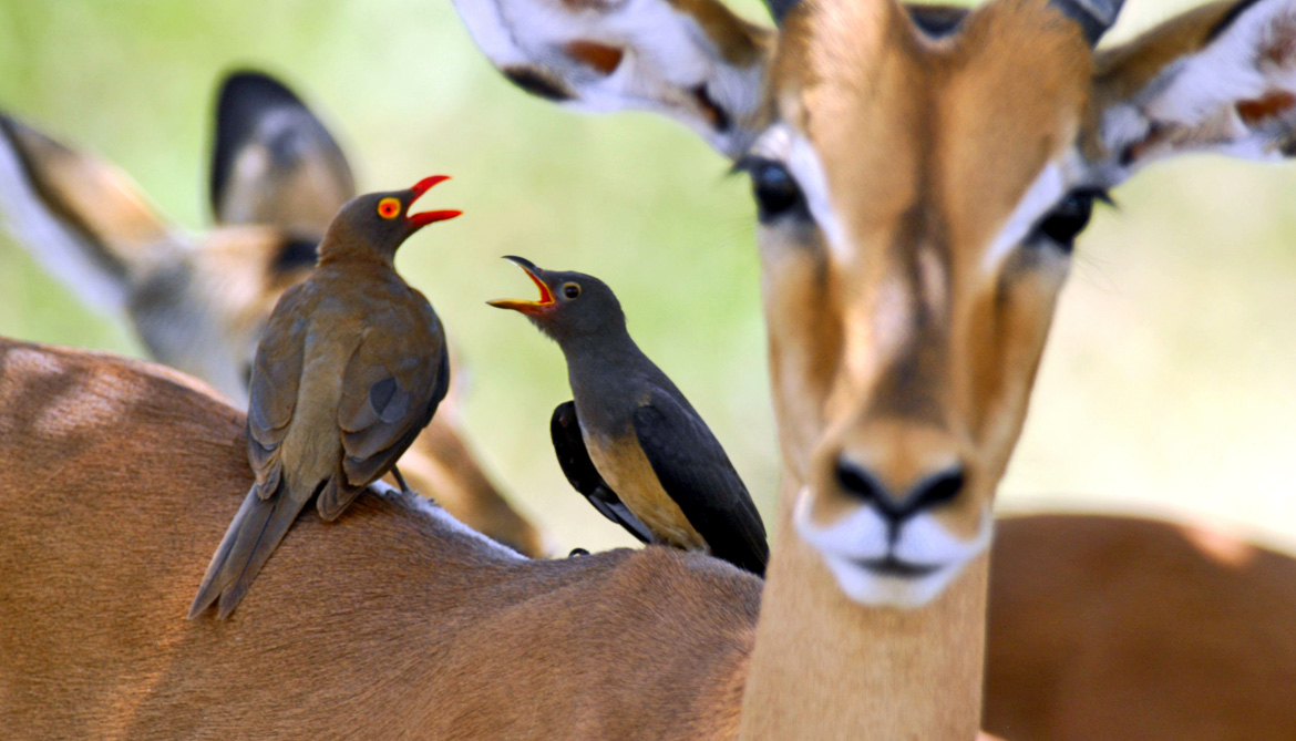 red-billed oxpeckers on impala