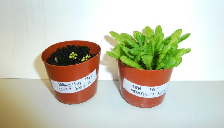 TNT-resistant plants