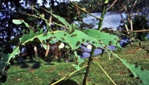 leaf-cutter ants take apart leaf