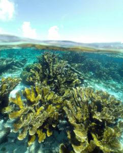 Elkhorn coral in Bonaire