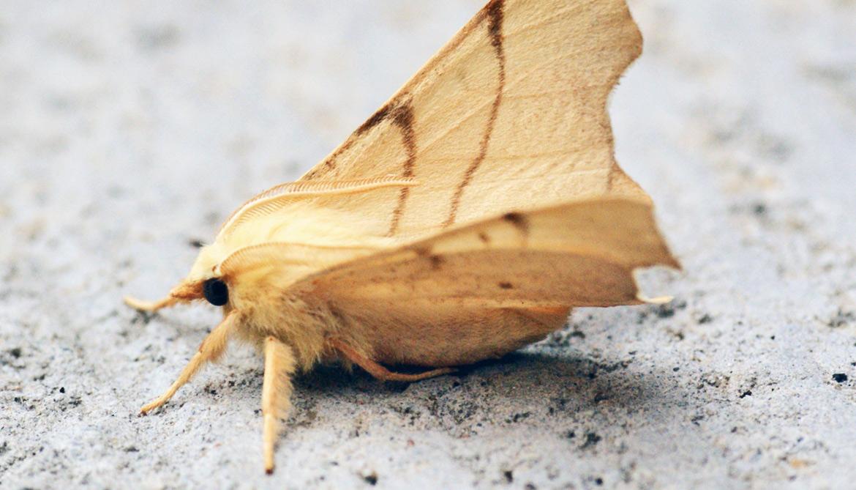 September thorn moth