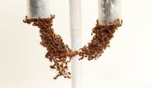 ants form a bridge