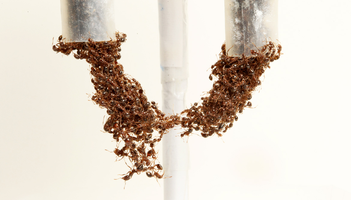 ants form a bridge