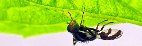 apple maggot fly - fruit fly