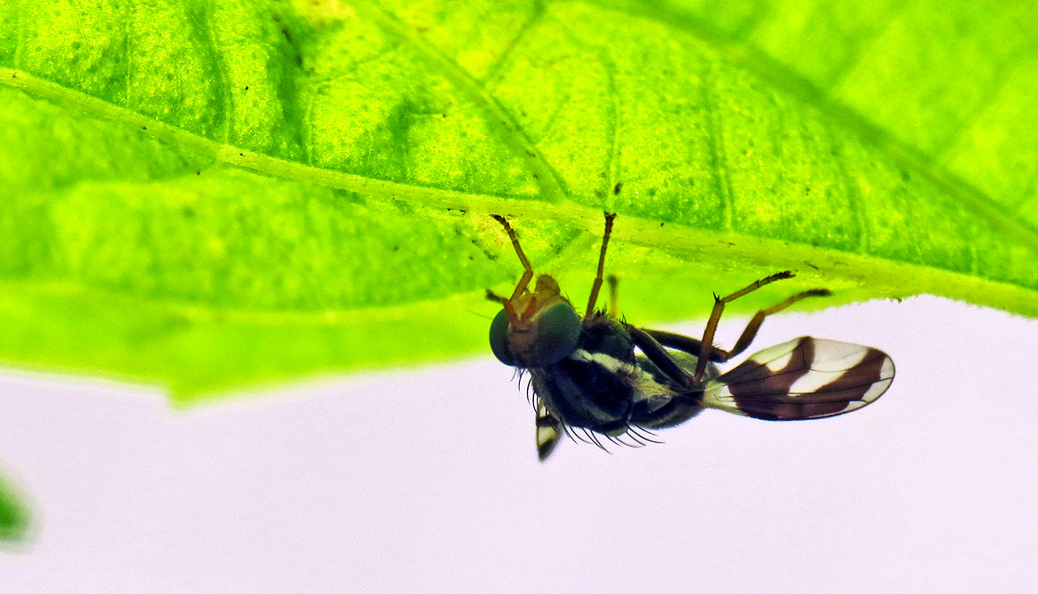 New flies in apple trees set off wasp evolution