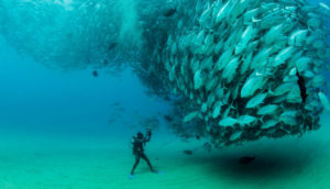 bigeye trevally spawning