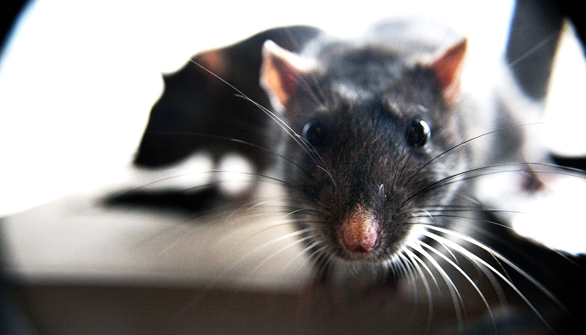 Stress primes 'teen' rats for tough times later