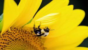 bombus impatiens bumblebee on sunflower