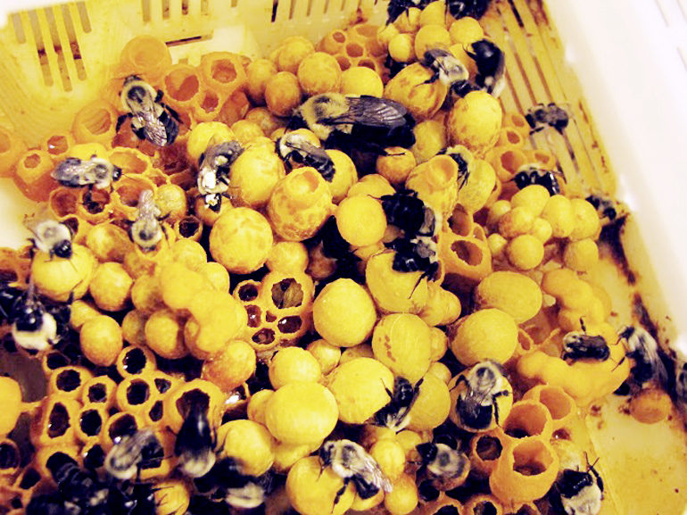 bumblebees and eggs