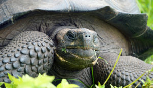 Eastern Santa Cruz Tortoise