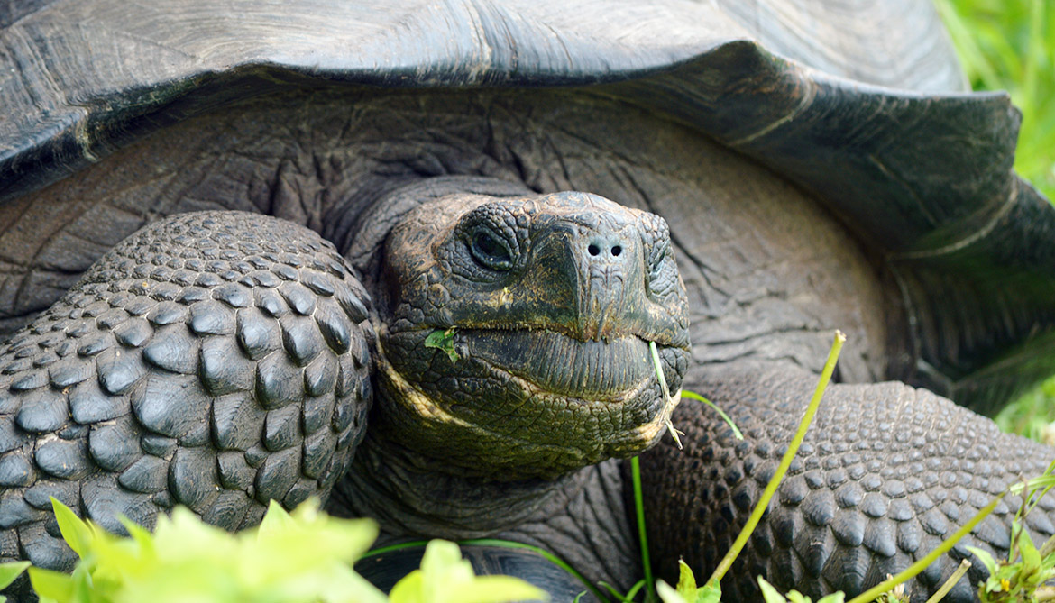Giant tortoise in Galapagos is a new species