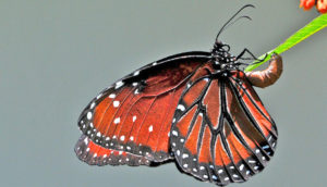 monarch butterfly lays eggs