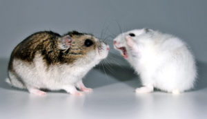 female hamster gets aggressive