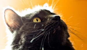 backlit cat & its hairs