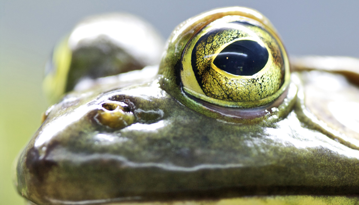 How frogs switch vision to see in murky water