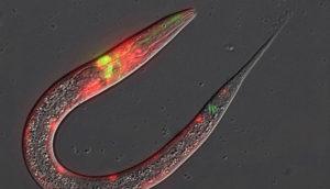 C. elegans nematode