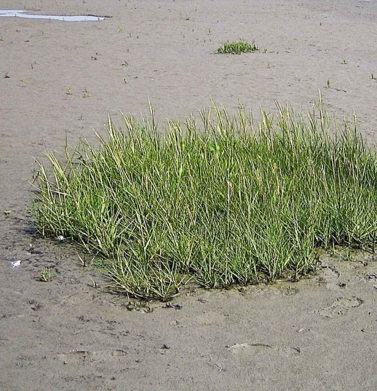 marsh grass planted in a clump