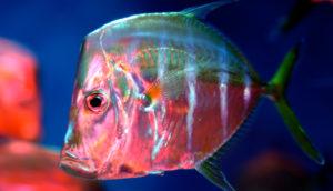 lookdown fish