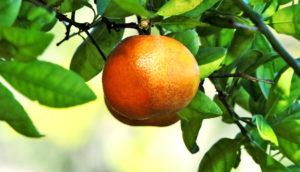citrus tree, florida orange