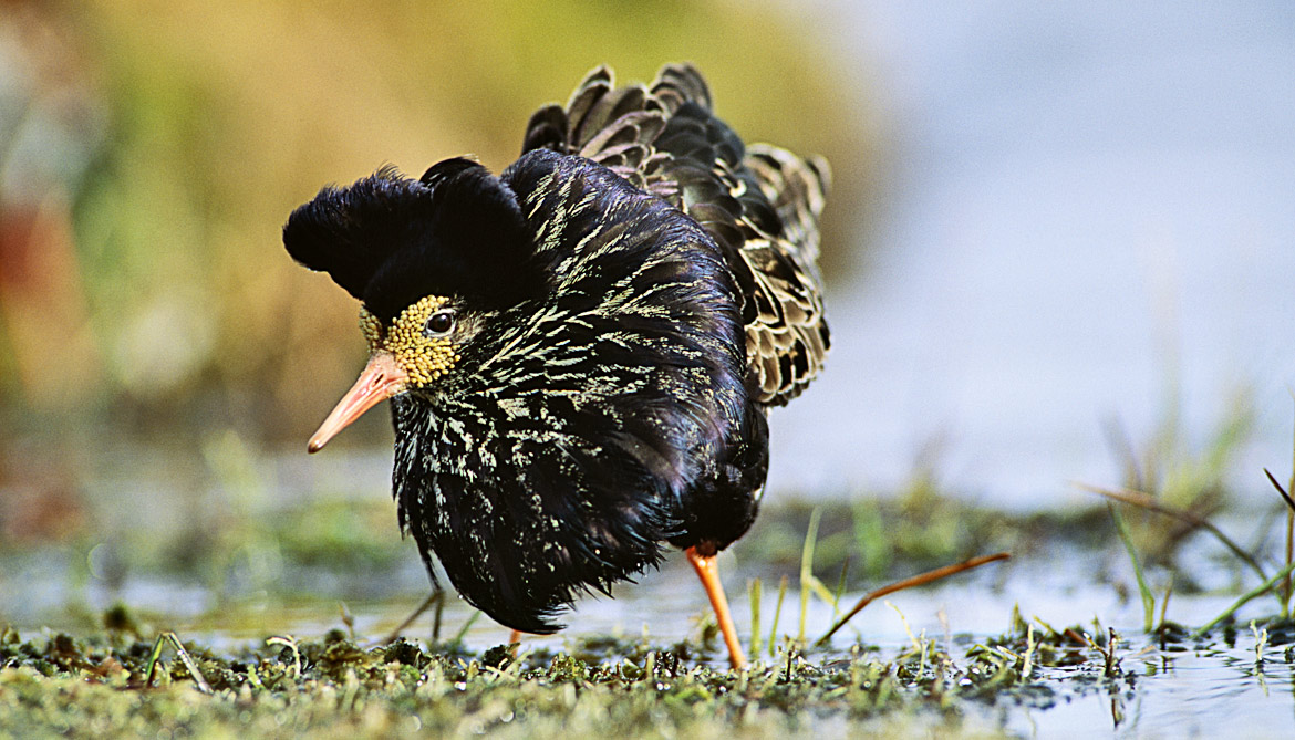 territorial male ruff