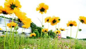 trucks pass wildflowers