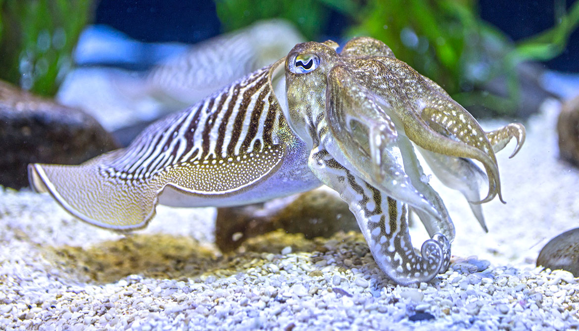 Watch this cuttlefish hide its electric field from sharks