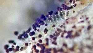 aspergillus sp. magnified