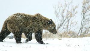 bear in the Alaskan tundra