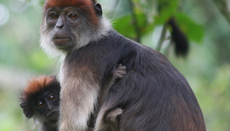 colobus monkey with infant