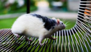 fat rat on park bench