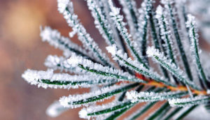 frost on pine needles