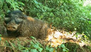 giant forest hog