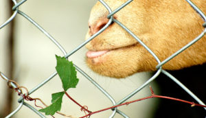 goat eats grapevine through fence