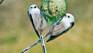 long-tailed tits at suet feeder