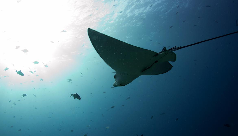 eagle ray swimming