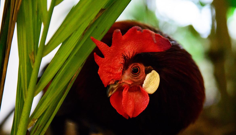 red junglefowl
