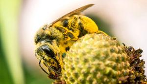 wild bee on coneflower