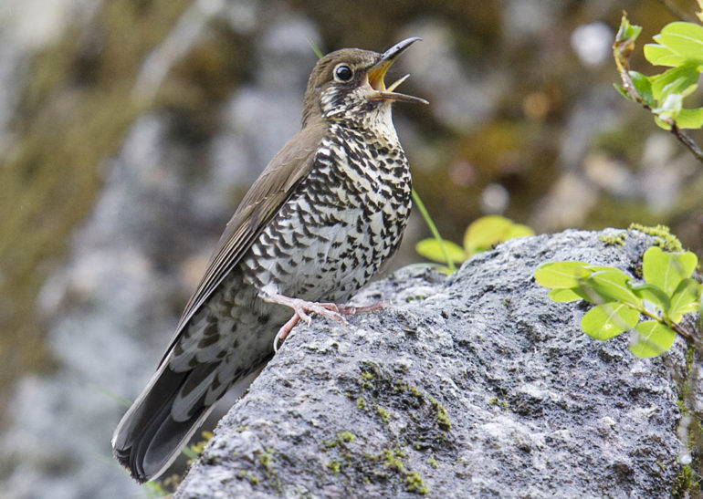 Himalayan Forest Thrush