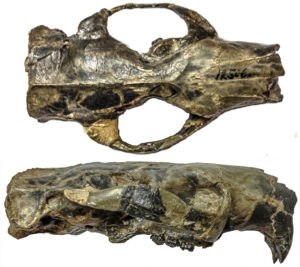 Paramys skull