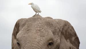 egret and elephant