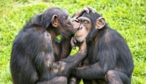 kissing chimpanzees